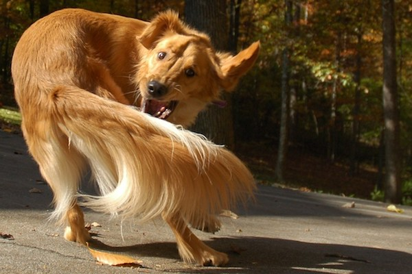 Причины, по которым собака грызет свой хвост