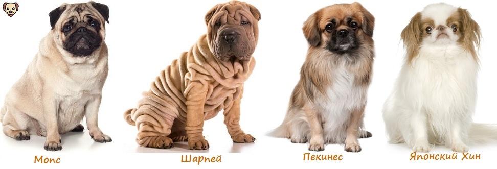 Собаки, у которых выпадают глаза