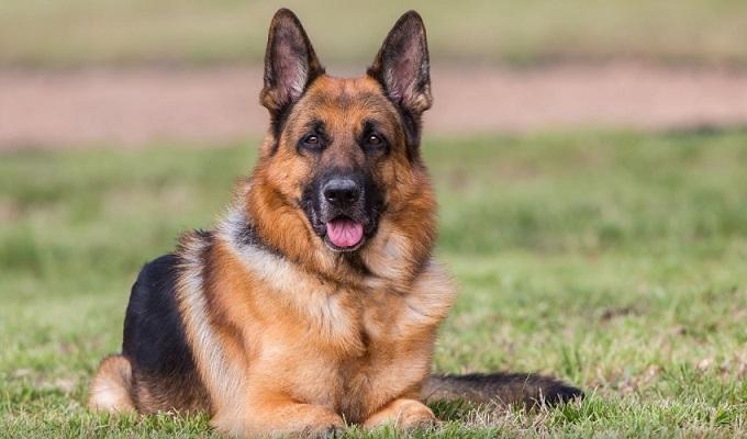 Характеристика сторожевой собаки