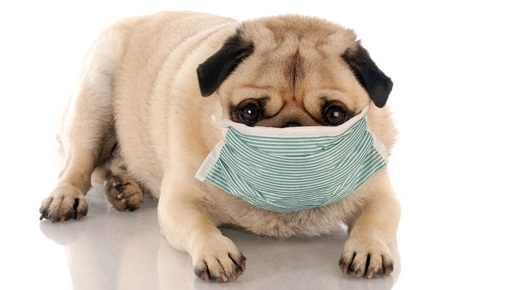 Питомниковый кашель