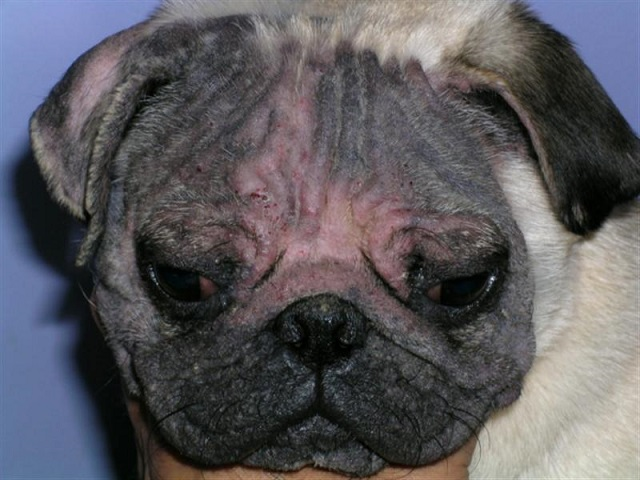 Симптомы демодекоза у собак