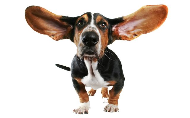 Ухо собаки