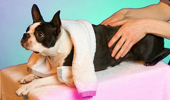 Лечение крипторхизма у собак