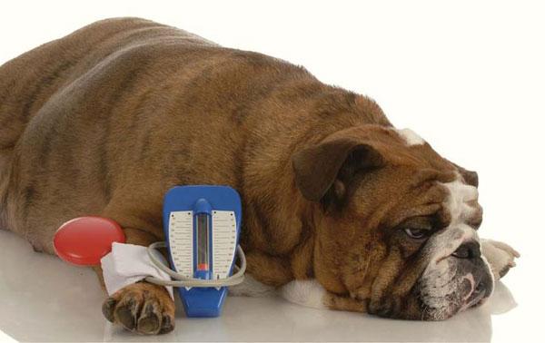 Причины появления крови в моче у собак