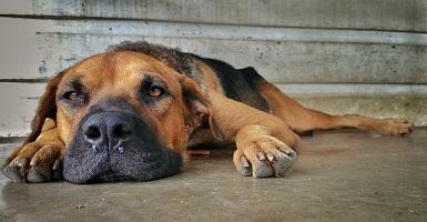 Кашель и насморк у собаки