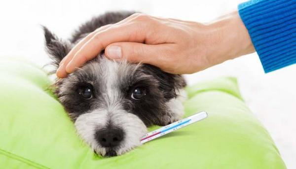 Какая температура считается нормальной у собаки?