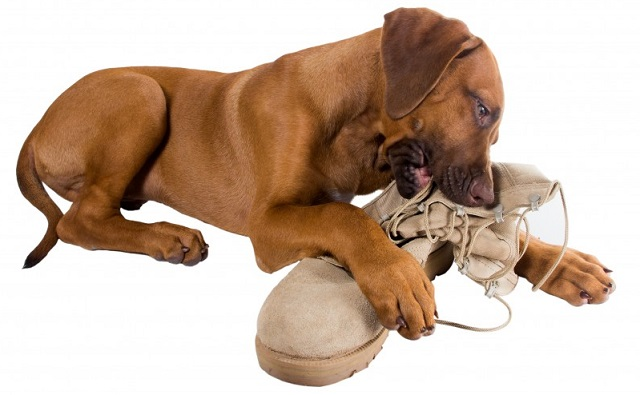 Как можно отучить собаку грызть обувь?