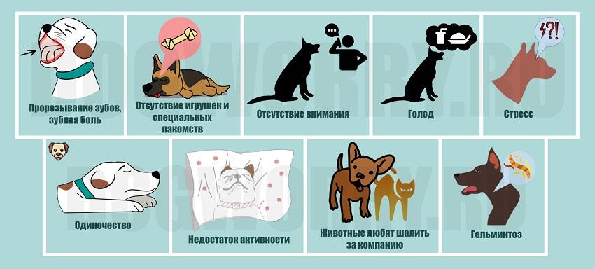 По каким причинам собаки любят грызть обувь?