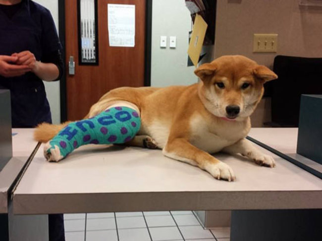 Лечение перелома у собак