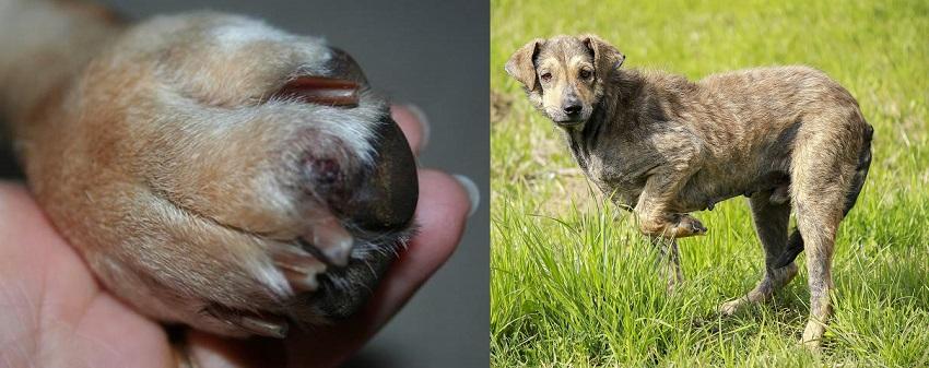 Симптомы перелома у собак