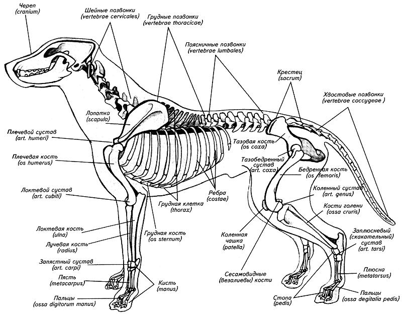 Строение конечностей собаки