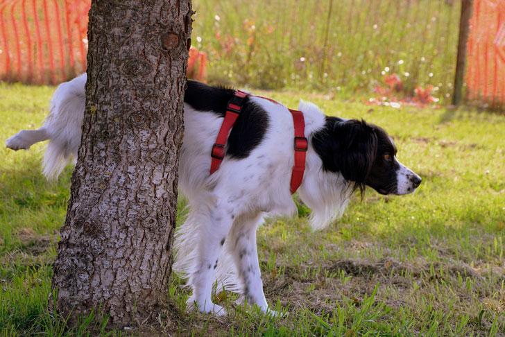 Гиперплазия у собак: предстательной железы, кистозная
