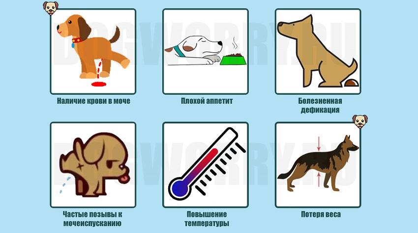 Симптомы простатита у собак