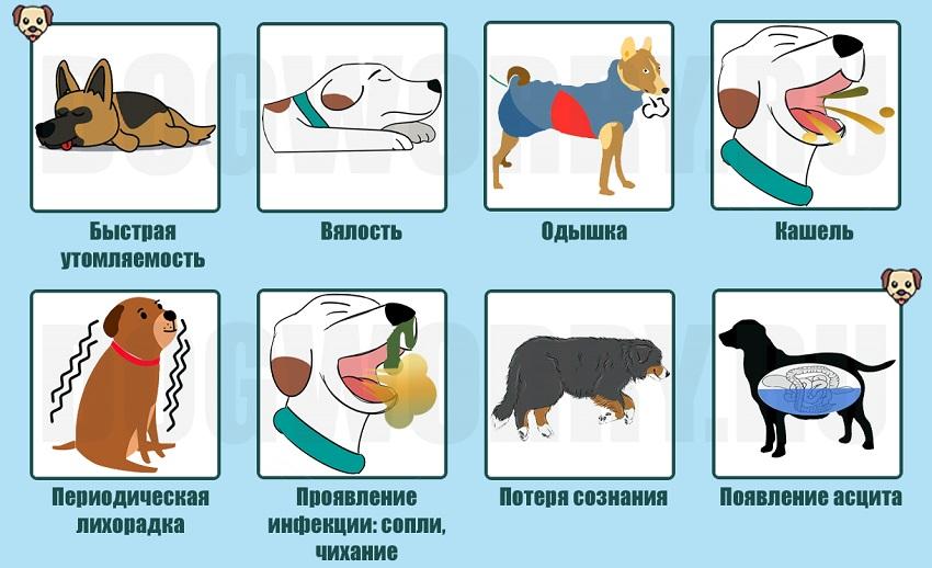 Симптомы сердечной недостаточности у собаки