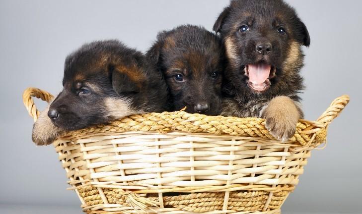 Что нужно знать при покупке алиментного щенка?