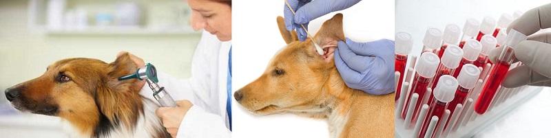 Диагностика ушных заболеваний у собак