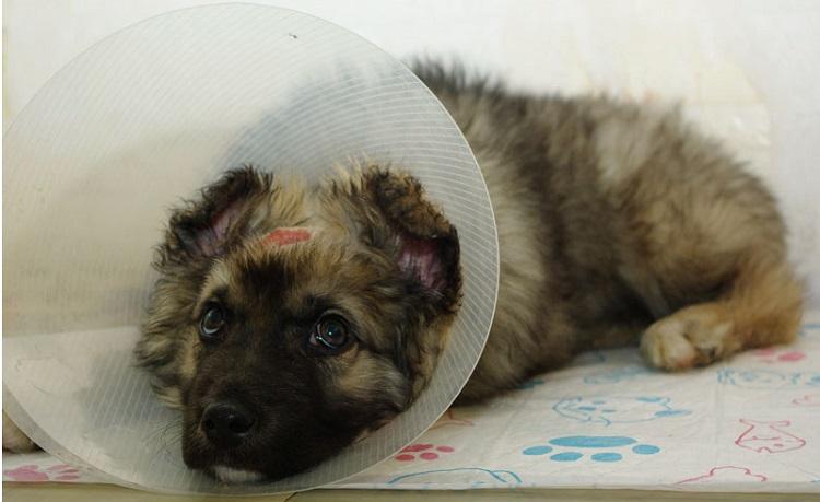 Когда собаке нужен защитный воротник?