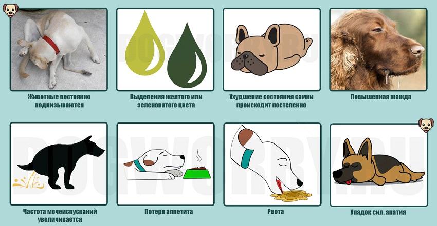 Пиометра у собак: симптомы заболевания