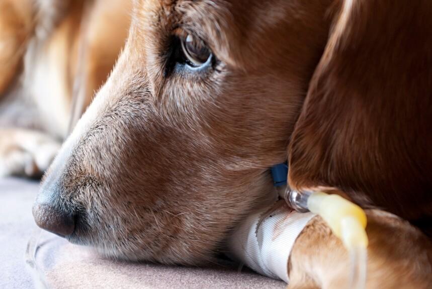 Как лечится болезнь у животных?