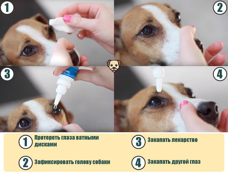 Как закапать собаке глаза?