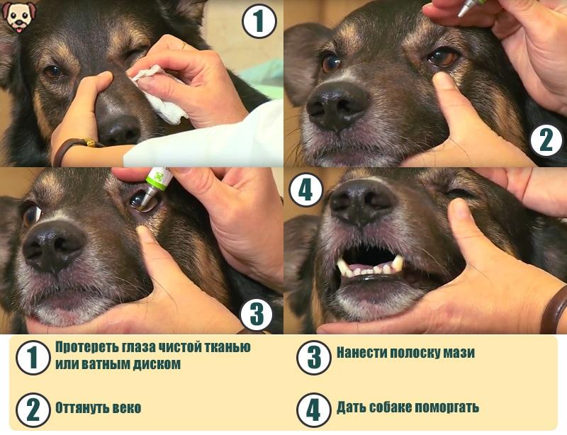 Как закладывать мазь в глаза собаке?