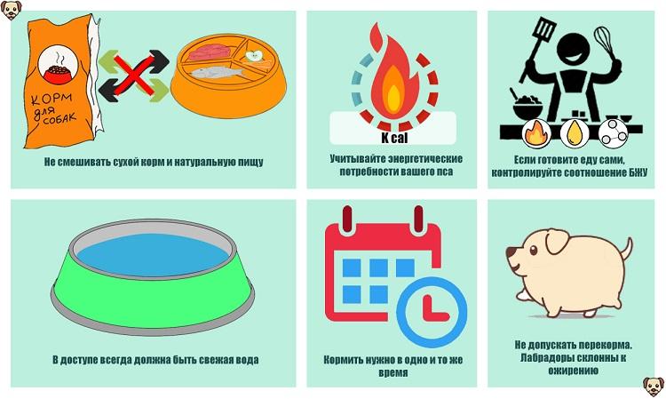 Правила кормления лабрадора