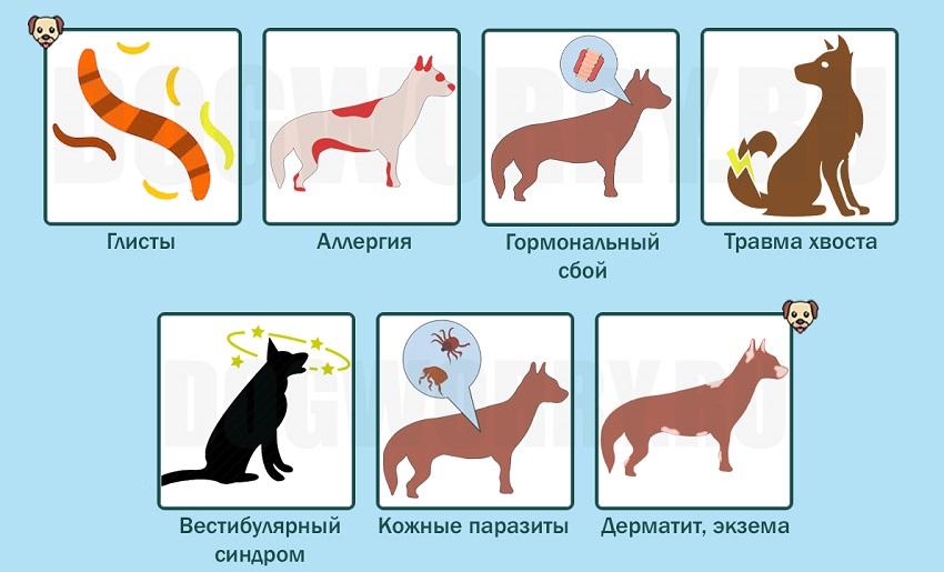 Собака гоняется за своим хвостом ветеринарные причины