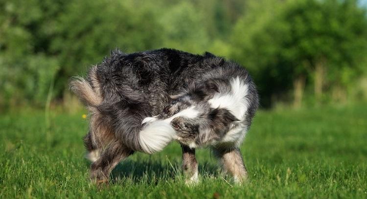 Собака играет с хвостом