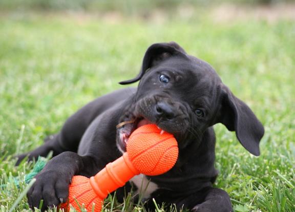 Характер собак кане-корсо