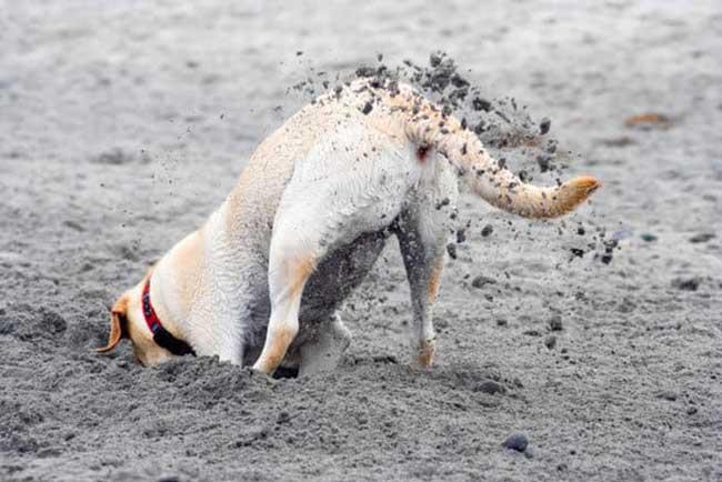 Как отучить собаку рыть ямы?