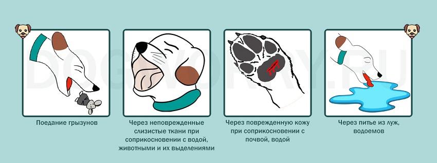 Как собака может заразиться лептоспирозом?