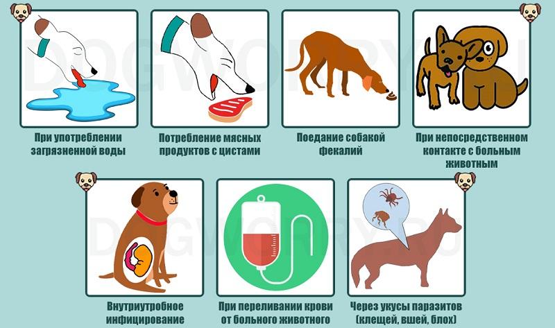 Пути заражения собак токсоплазмой