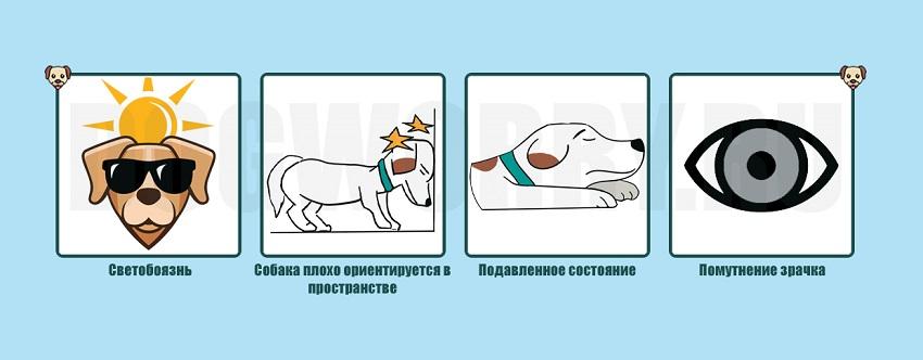 Симптомы ухудшения зрения у собаки