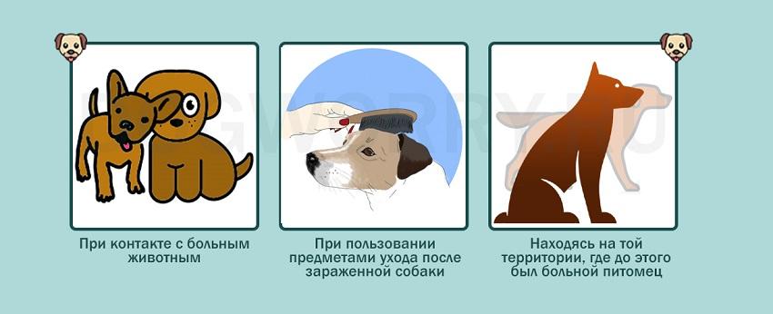 Как собака может заразиться саркоптозом?