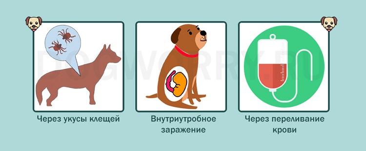 Как собака может заразиться?