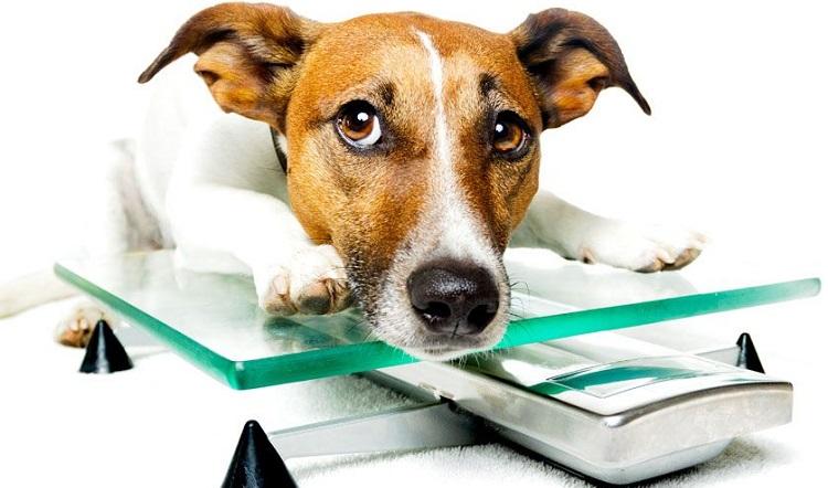 Признаки лишнего веса у собак