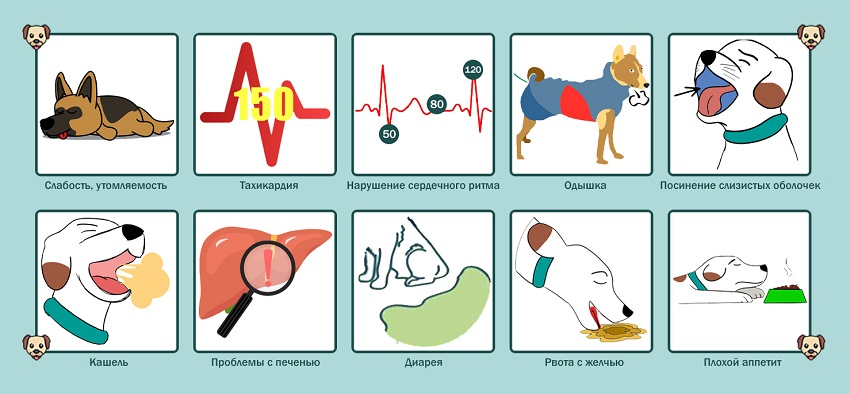 Симптомы дирофиляриоза у собак