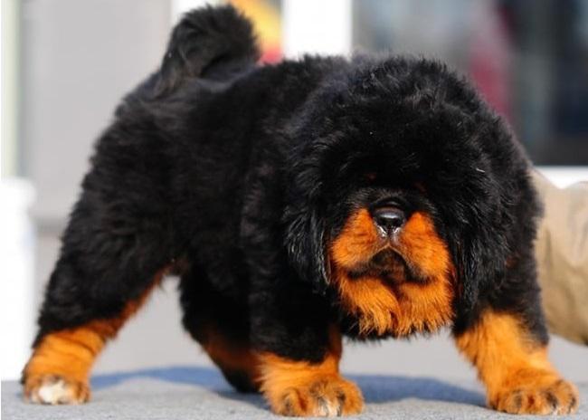 Сколько стоит щенок тибетского мастифа?