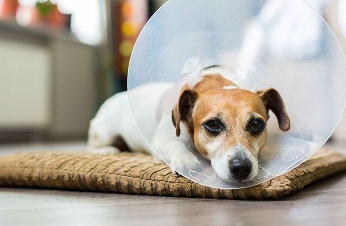 Уход за собакой после операции