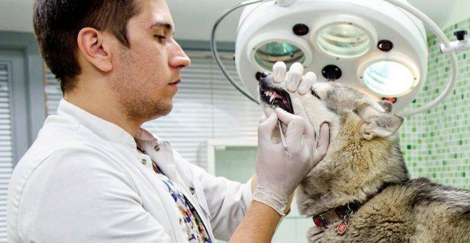 Как лечить стоматит у собак?