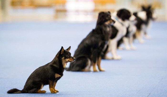 Что такое обидиенс для собак?
