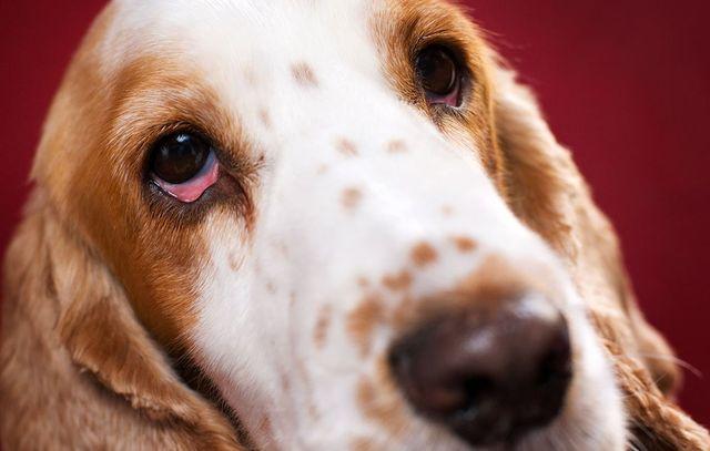 Что такое синдром сухого глаза у собак?