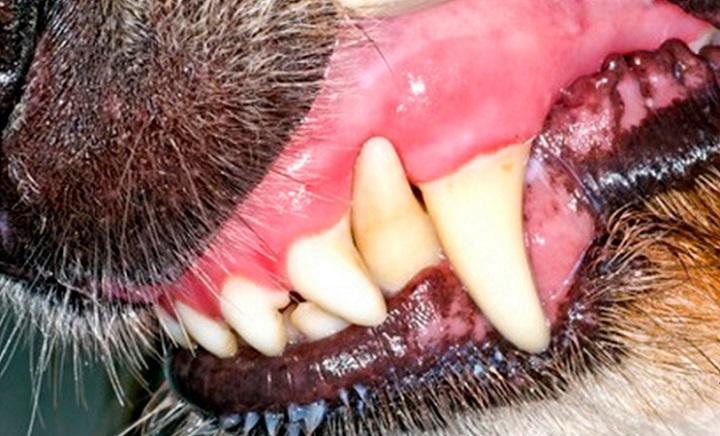Что такое стоматит у собак?