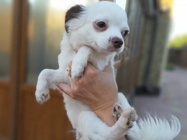 Как правильно выбрать щенка чихуахуа?