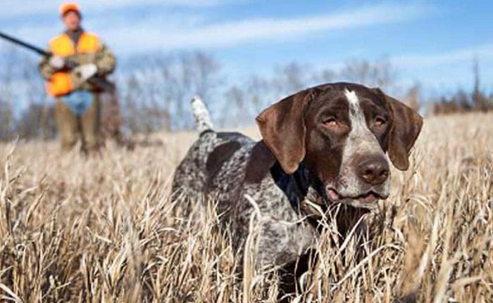 Правила выбора клички для охотничьих собак