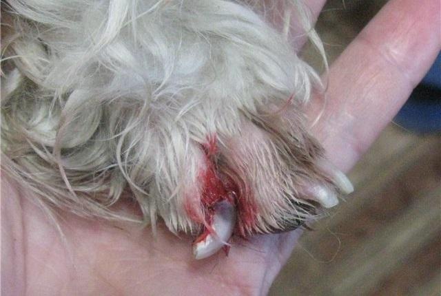Симптомы поврежденного когтя у собак