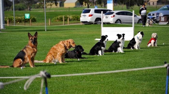 Что такое общий курс дрессировки (ОКД) собак?