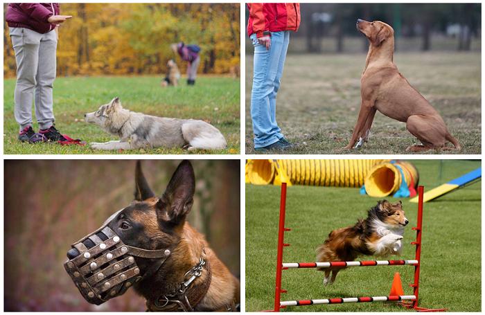 Что входит в общий курс дрессировки собак?
