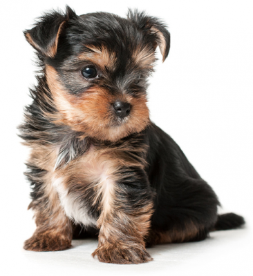 Как правильно выбрать щенка йоркширского терьера?