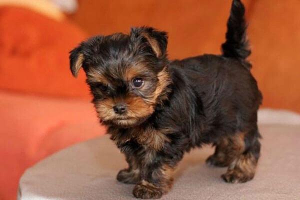 Как выбрать щенка йоркширского терьера по внешним признакам?
